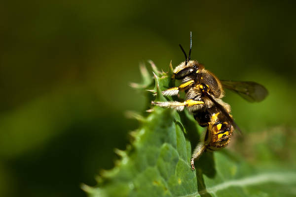 Photograph - Yellow Jacket Wasp by  Onyonet  Photo Studios