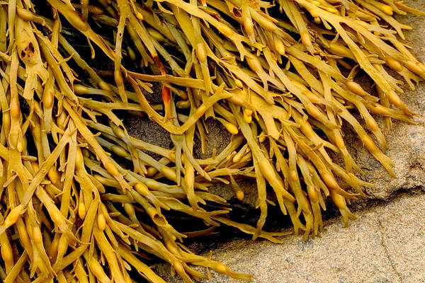 Wall Art - Photograph - Yellow Kelp by Brent L Ander