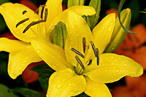 Photograph - Yellow Lilies by Emanuel Tanjala