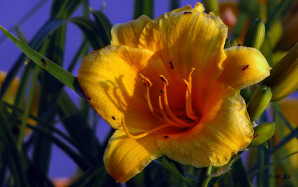 Photograph - Yellow Lily Ant Catcher by Ms Judi