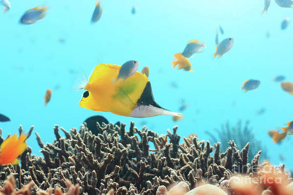 Wall Art - Photograph - Yellow Longnose Butterflyfish by MotHaiBaPhoto Prints