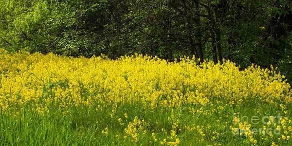 Photograph - Yellow Meadow Flowers by Lutz Baar