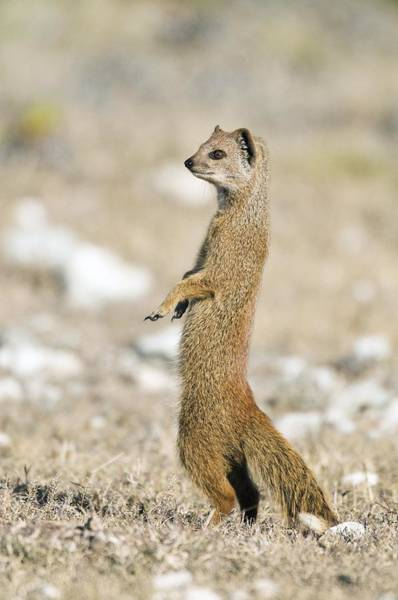 Wall Art - Photograph - Yellow Mongoose by Peter Chadwick