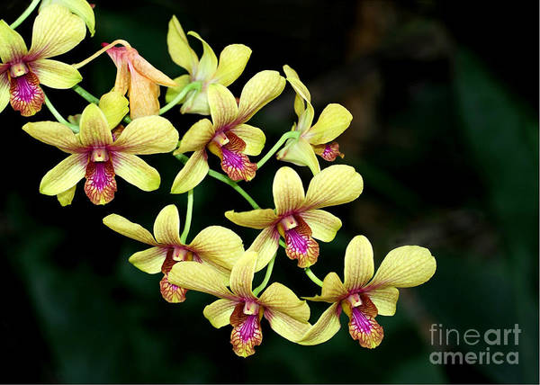 Photograph - Yellow Orchid Cascade by Sabrina L Ryan