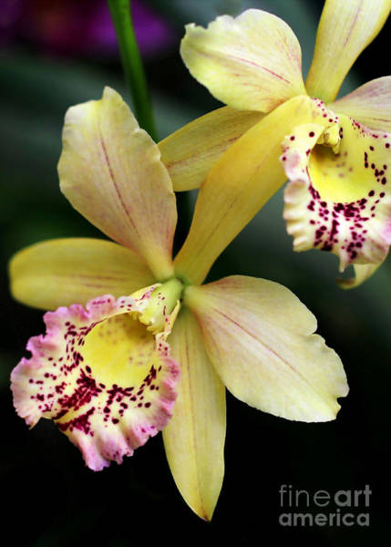 Photograph - Yellow Orchid Duo by Sabrina L Ryan