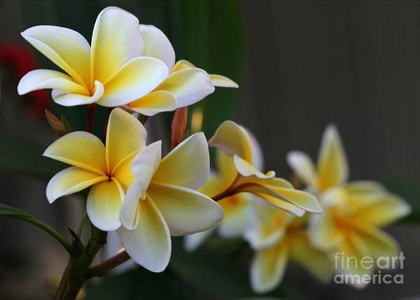 Photograph - Yellow Plumeria Flowers by Sabrina L Ryan