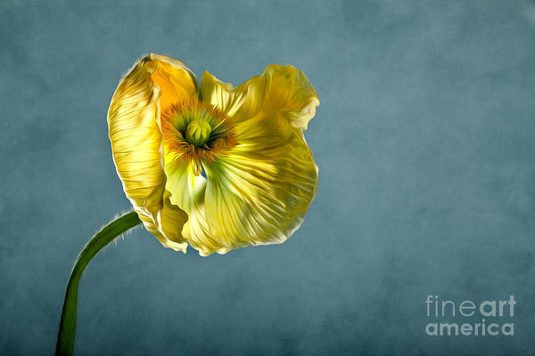 Pollen Photograph - Yellow Poppy by Nailia Schwarz