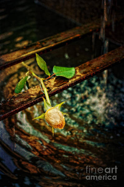 Photograph - Yellow Rose And Fountain by Silvia Ganora
