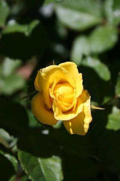James Johnson Wall Art - Photograph - Yellow Rose Bud by James Johnson