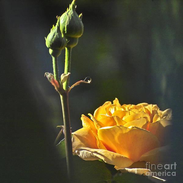 Photograph - Yellow Rose by Heiko Koehrer-Wagner