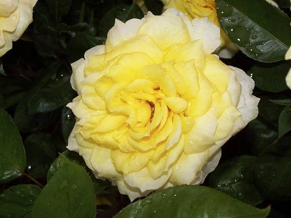 Photograph - Yellow Rose by Ralph Jones