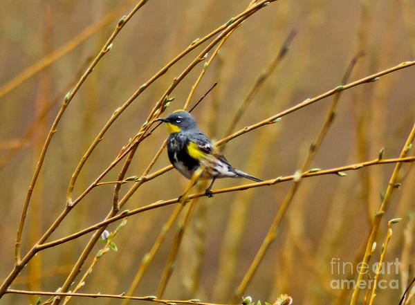 Yellow-rumped Warbler Photograph - Yellow-rumped Warbler by Mitch Shindelbower
