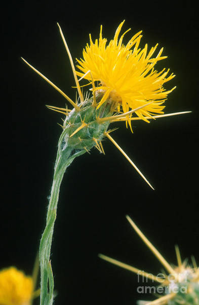 Photograph - Yellow Starthistle by Science Source