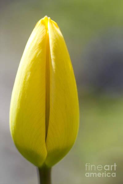 Photograph - Yellow Tulip Bud by Heiko Koehrer-Wagner