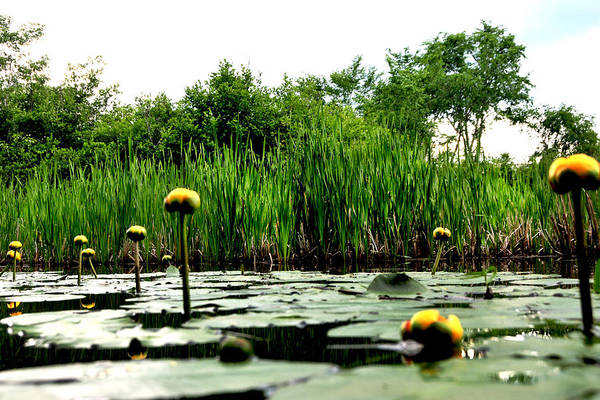Photograph - Yellow Water Lilies by Peter DeFina
