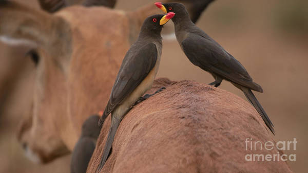 Photograph - Yellowbilled Oxpeckers by Mareko Marciniak