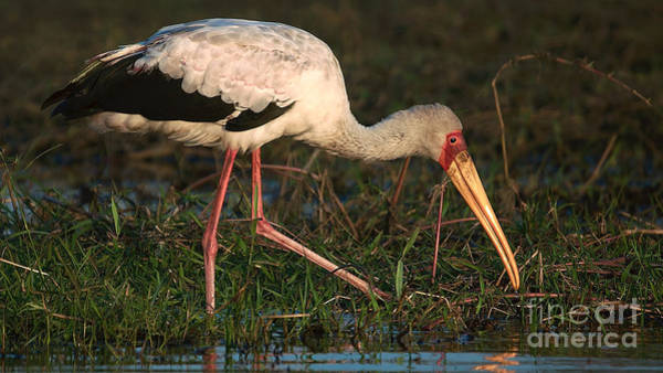 Photograph - Yellowbilled Stork 2 by Mareko Marciniak