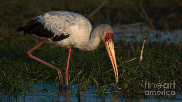 Yellowbilled Stork Art Print