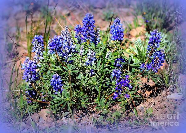 Photograph - Yellowstone Lupine Blue by Carol Groenen