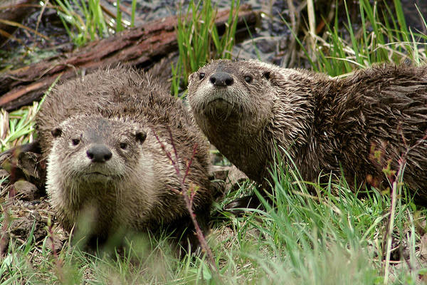 Photograph - Yellowstone River Otters by Steve Stuller