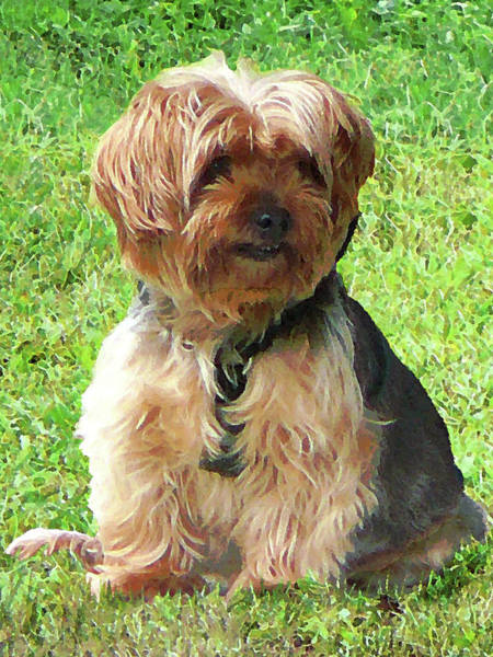 Photograph - Yorkshire Terrier In Park by Susan Savad