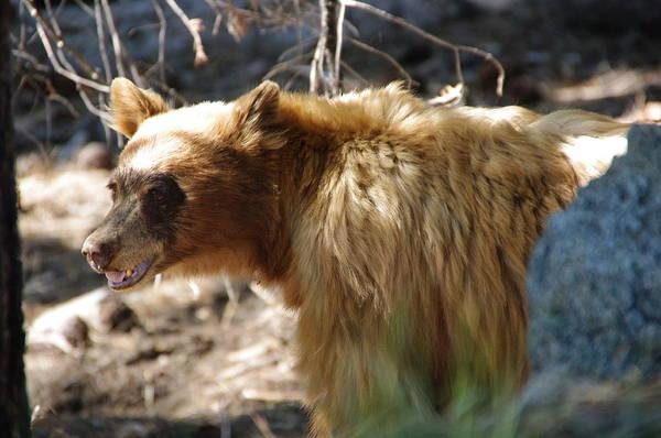 Photograph - Yosemite Black Bear by Jeff Lowe