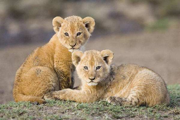 Photograph - Young African Lion Cubs  by Suzi Eszterhas