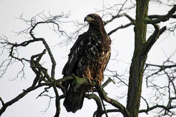 Photograph - Young Bald Eagle In Boundary Bay by Pierre Leclerc Photography