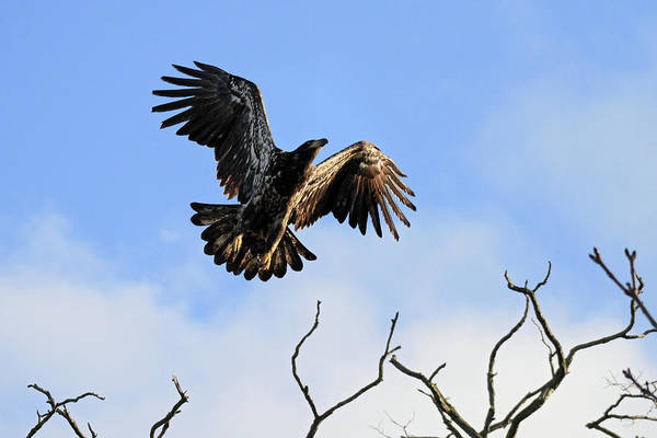 Photograph - Young Bald Eagle Taking Flight by Pierre Leclerc Photography