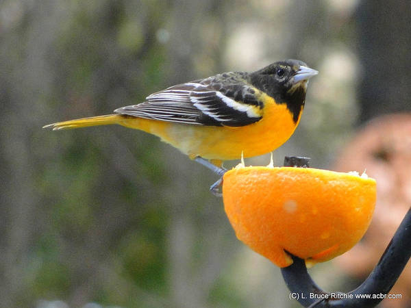 Mixed Media - Young Baltimore Oriole by Bruce Ritchie
