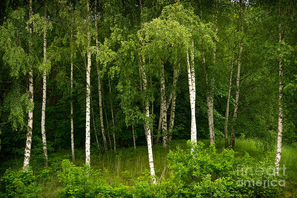 Photograph - Young Birches by Lutz Baar