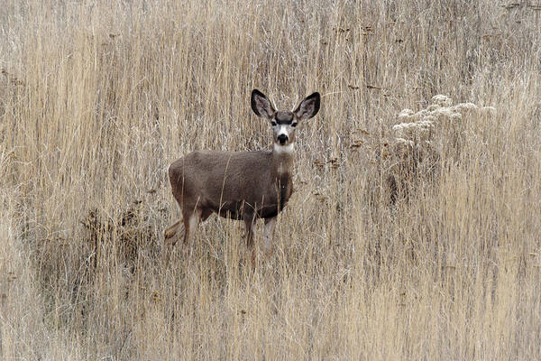 Photograph - Young Buck by Wes and Dotty Weber