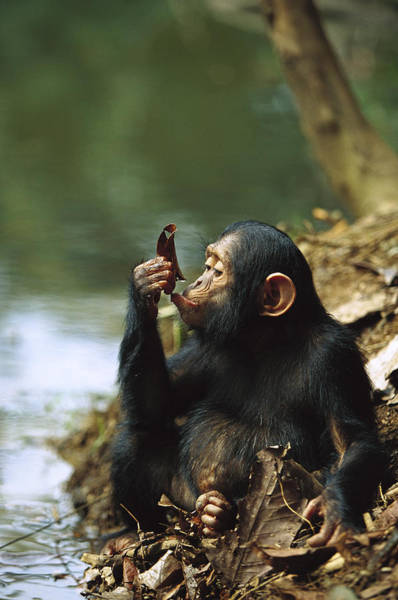Wall Art - Photograph - Young Chimpanzee Using A Leaf To Drink by Cyril Ruoso