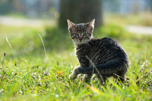 Photograph - Young Domestic Cat Looking Curious Into The Camera by Olaf Broders