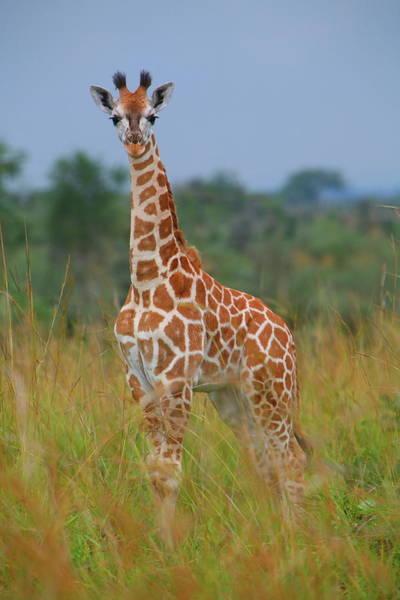 Wall Art - Photograph - Young Giraffe On Alert by Bruce J Robinson