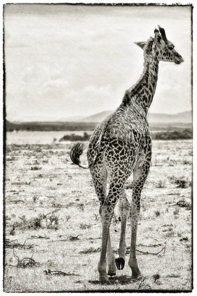 Art Print featuring the photograph Young Giraffe Strolling Around by Perla Copernik