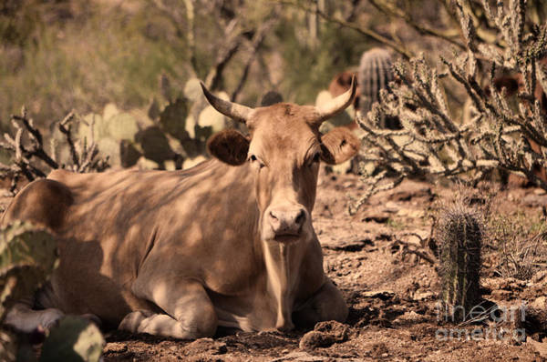 Photograph - Young Longhorn Steer by Donna Greene