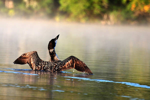 Photograph - Young Loon by Peter DeFina