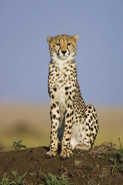 Photograph - Young Male Cheetah Masai Mara National by Suzi Eszterhas