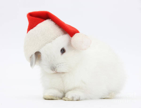 Photograph - Young Rabbit Wearing A Father Christmas by Mark Taylor