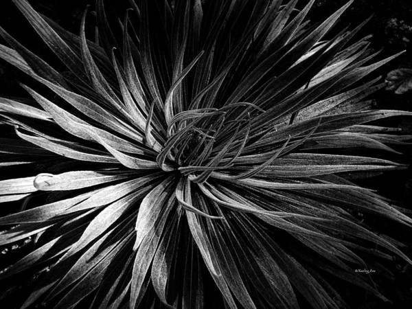 Photograph - Yucca by Xueling Zou