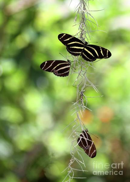 Photograph - Zebra Butterflies Hanging Out by Sabrina L Ryan