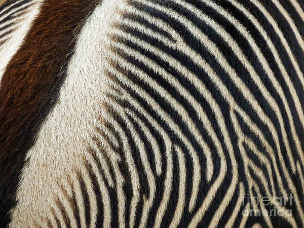 But Photograph - Zebra Caboose by Methune Hively