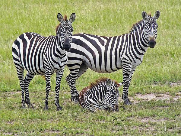 Photograph - Zebra Family by Tony Murtagh