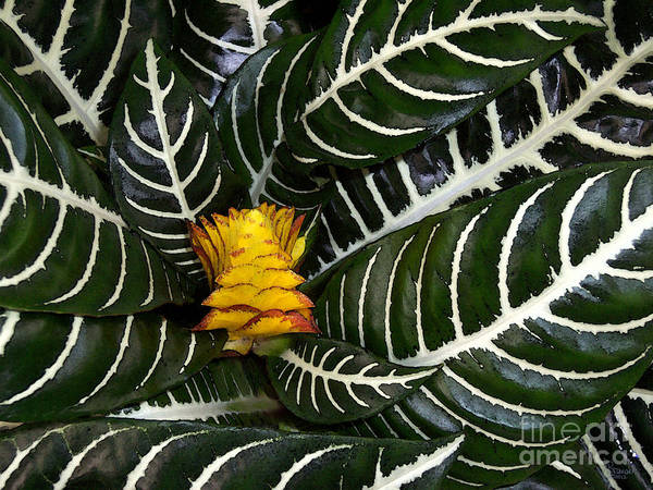 Photograph - Zebra Plant by Jeff Breiman