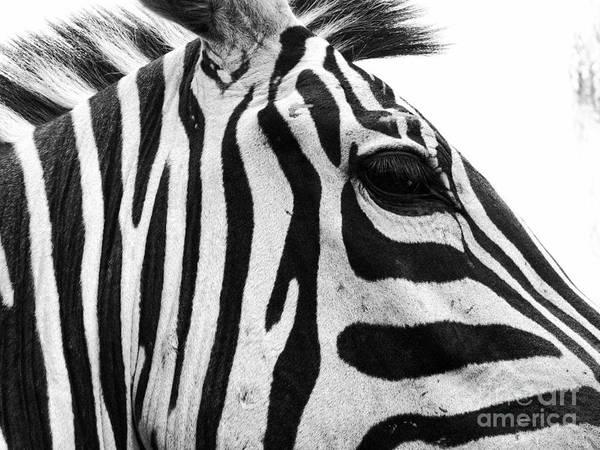 Photograph - Zebra by Traci Cottingham