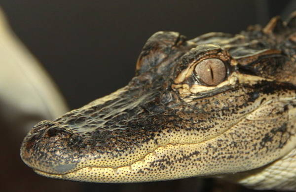 Photograph -  Al The Alligator by Sean Allen