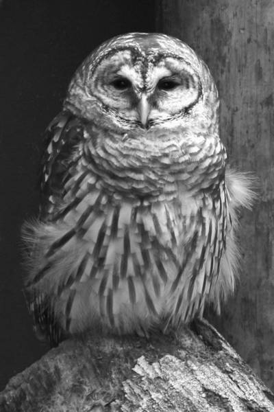 Wall Art - Photograph -  Barred Owl by Tom Cheatham