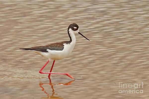 Wall Art - Photograph -  Black-necked Stilt by Tom Cheatham