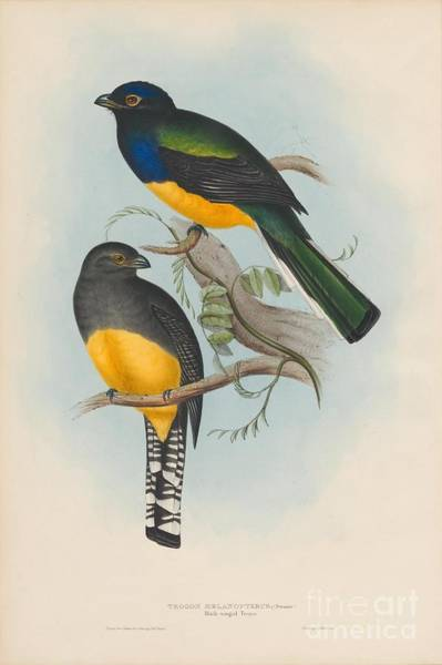 Painting -  Black-winged Trogon by Celestial Images